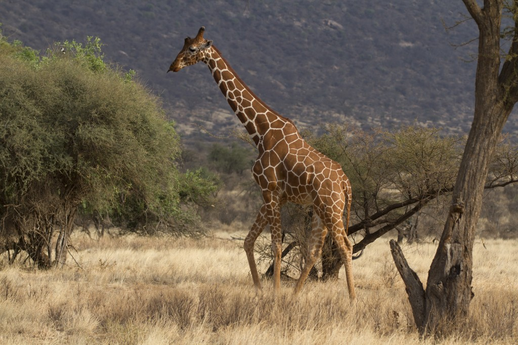 Reticulated Giraffe - Kenya