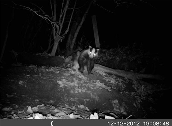 Badger caught on camera