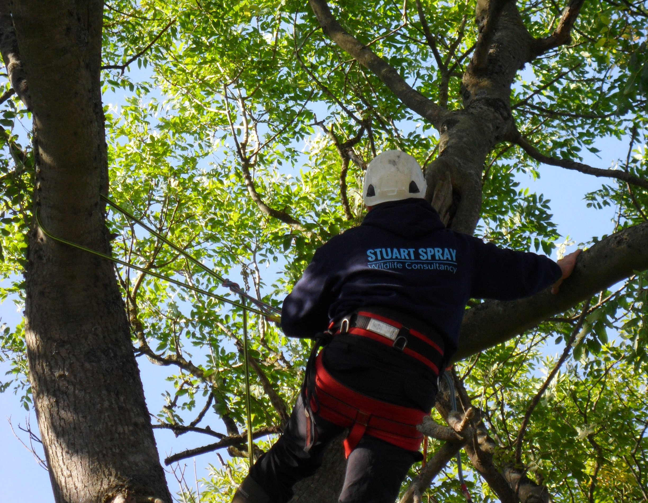 Visual inspection of an ash tree from rope and harness for roosting bats
