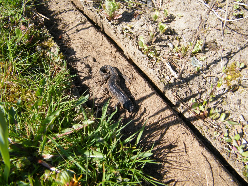 Great Crested Newt under log