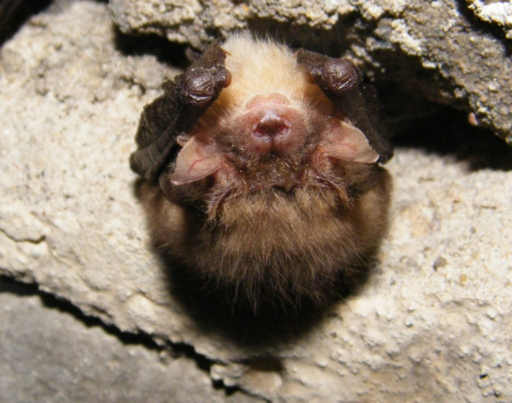 Mouse Eared Bat - Poland