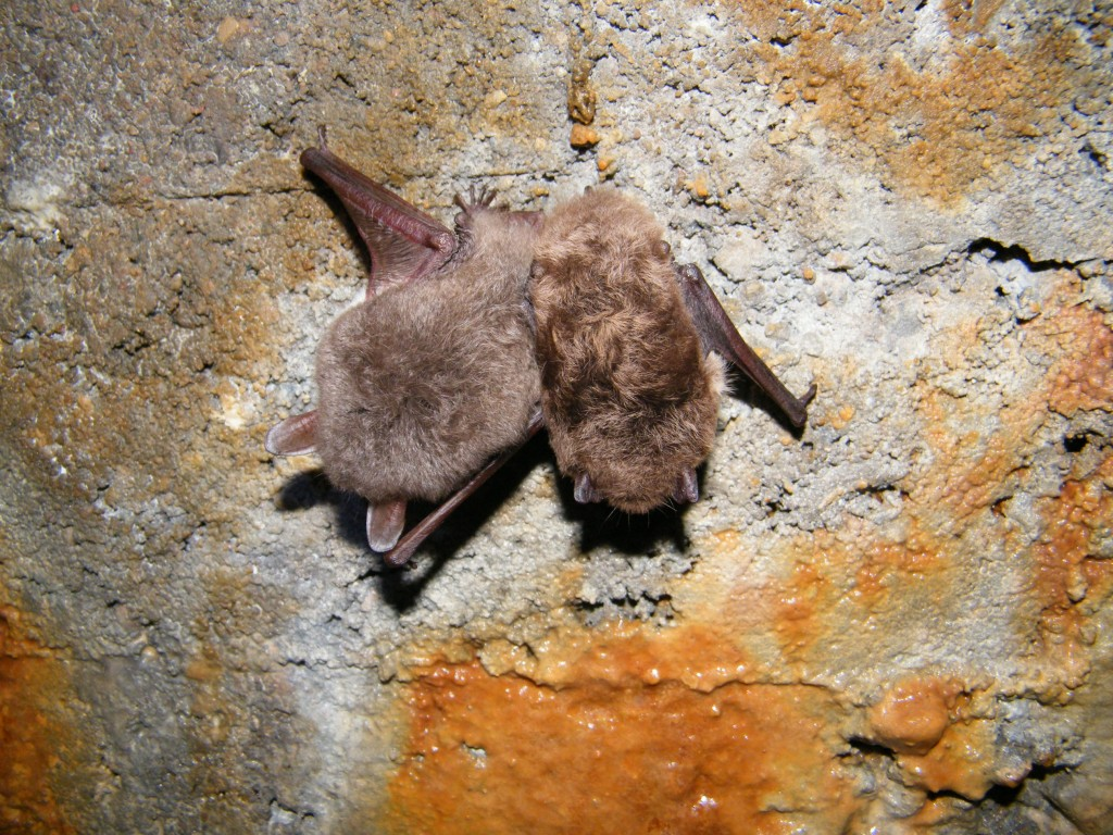 Hibernating Natterer's and Daubenton's Bat