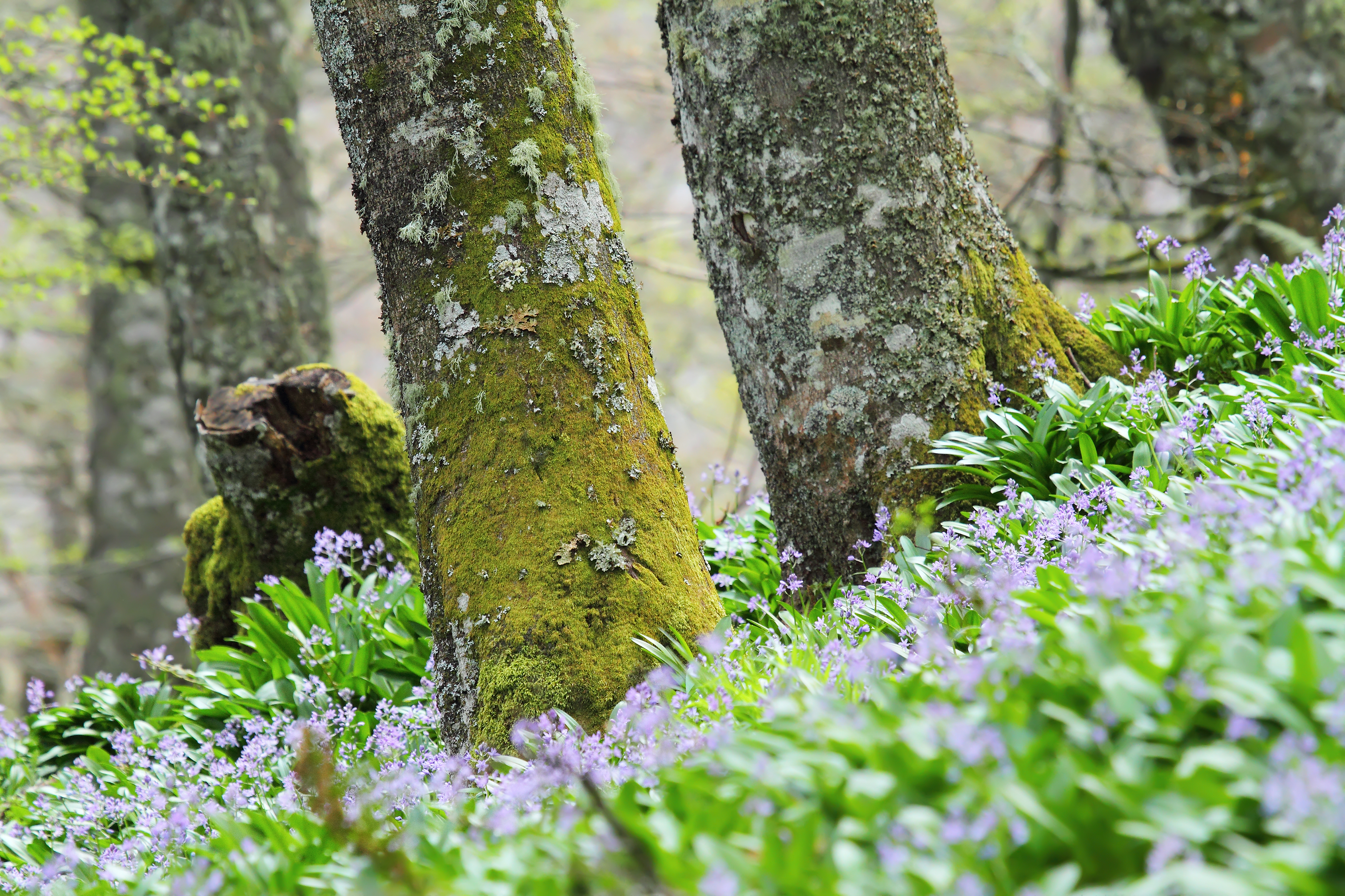 Broadleaved woodland with bluebells